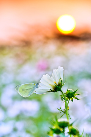 rested: A butterfly rested on a flower under the sunset. Stock Photo
