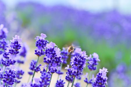 honeybee: A honeybee flying in the lavender farm.
