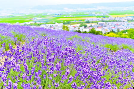 北海道の夏のラベンダー畑