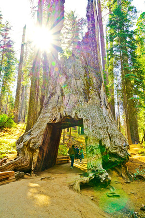 View of the dead tunnel tree in Tuolumne Grove, Yosemite National Park on October 10, 2017.