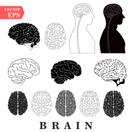Human Brain Anatomy Collection set anterior inferior lateral and sagittal views spinal cord start lobes temporal frontal limbic parietal occipital anatomical science education cerebellum vector Illustration