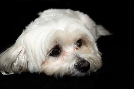 Portrait of dog posing lying down