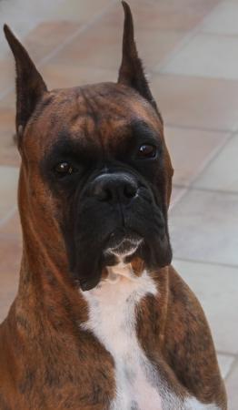perro boxer: Boxer Pure Breed perro tiro en la cabeza