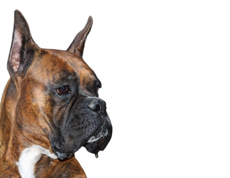 perro boxer: Perro de pura raza Boxer aislado sobre fondo blanco