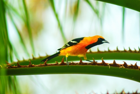 oriole: Baltimore Oriole. This species is very local to the Yucatan Peninsula