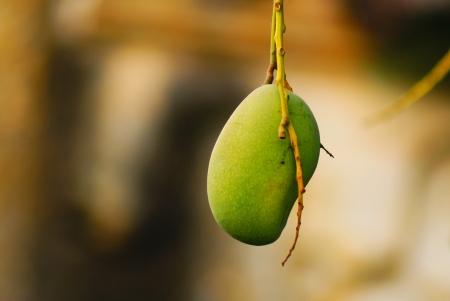 mango tree: Ripening Mango on tree.