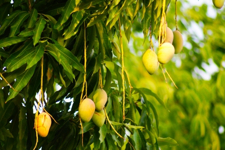 Ripening Mangoes on tree. photo