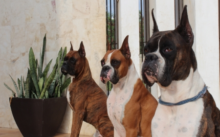 boxer dog: Three purebred Boxer dogs with Brindle and Fawn coat colors. Stock Photo