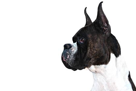 perro boxer: El perfil del perro del boxeador de pura raza con las orejas cortadas en el fondo blanco