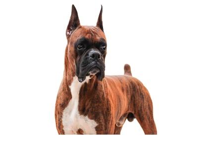白い背景で隔離された純血種のボクサー犬