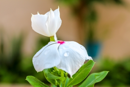 true myrtle: Native to Yucatan Catharanthus roseus white with pink center Stock Photo