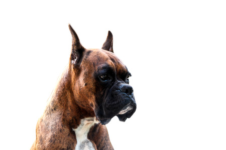 brindle: Muscular  Purebred Boxer Dog Stock Photo