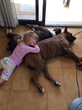 perro boxer: Niña que pone con sus perros boxer Foto de archivo