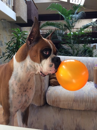 風船で遊んで子犬ボクサー