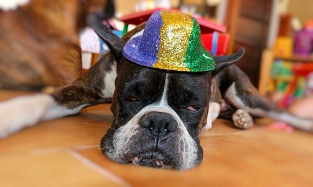 perro boxer: Perro boxer divertido que lleva un sombrero Foto de archivo