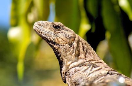 ユカタン ネイティブ イグアナや野生の Toloc