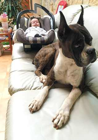 ボクサー犬の品種は、新生児を見守る