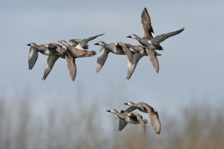 friezes: A group of ducks in flight of the species adds friezes