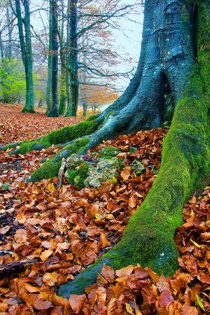 alava: Bosque de Opakua en oto�o, Alava (Espa�a)