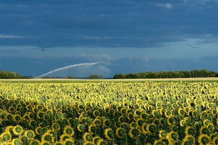 Field of sunflowers near Angouleme, Poitou-Charentes (France) photo
