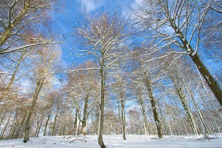 alava: �rboles nevado en Opakua, Alava (Espa�a)