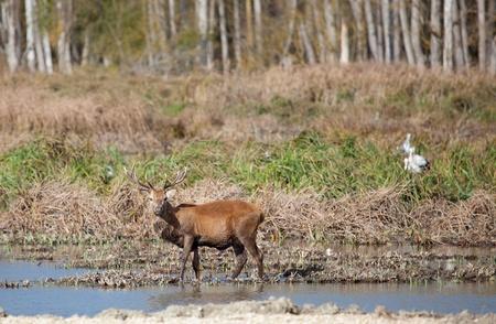 gasteiz: Deer in Salburua, Vitoria, Alava, Spain Stock Photo