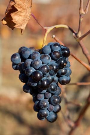 alava: Bunch of grapes, Laguardia, Alava, Spain