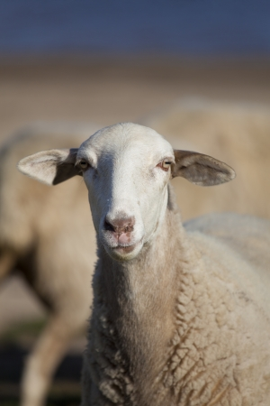 ranching: Flock of sheep, Ebro reservoir, Burgos, Castilla y Leon, Spain