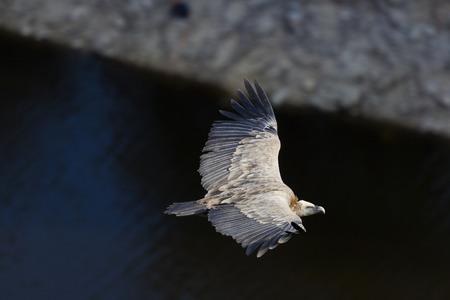 segovia: Vulture, Hoces del Duraton, Segovia, Spain