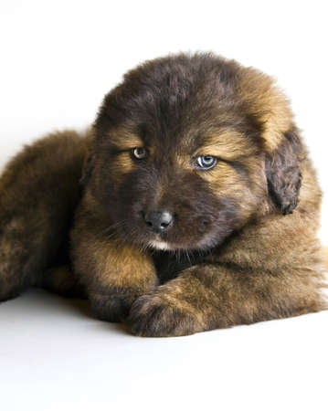 light brown eyes: lovely caucasian mastiff puppy with natural light