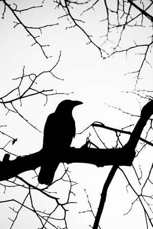 corvo imperiale: corvo Archivio Fotografico