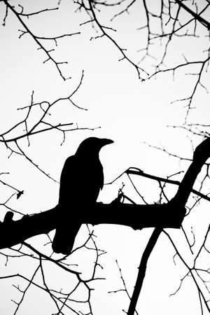 the crows: raven