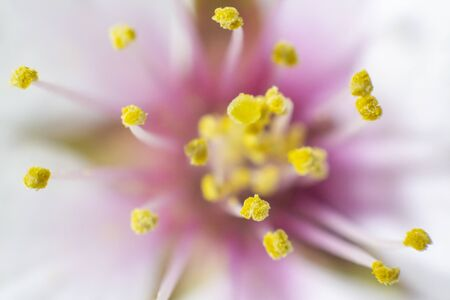A close up on an almond blossom with emphasis on the stamens Stock Photo