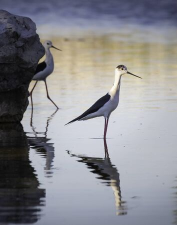 Male stilt in a lake with reflection and female behind Stock Photo