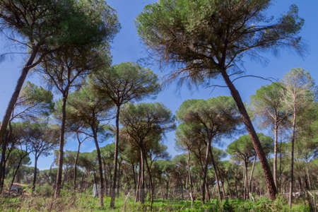 view of a landscape of tall pine trees Stock fotó