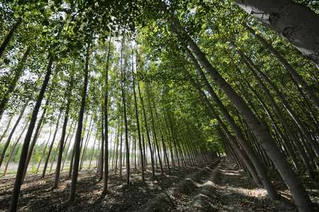 Poplar Forest in Fuente Vaqueros, Granada, Andalusia, Spain 版權商用圖片 - 105413436