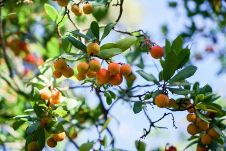 Arbutus tree, ripe strawberry tree fruits in Granada