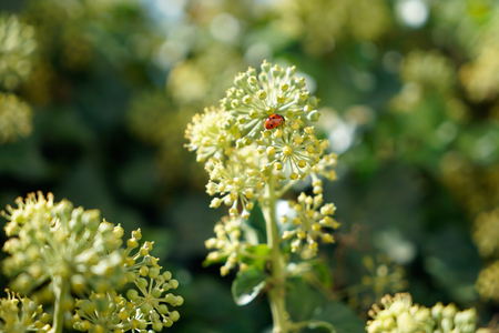 Ladybug on a branch of angelica in the morning sun Stock Photo