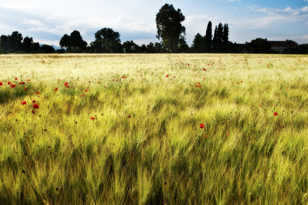 Gold Wheat flied with poppies, rural countryside