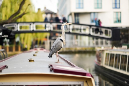 Heron or ardea cinerea in Little Venice, Camden town, London, UK 写真素材