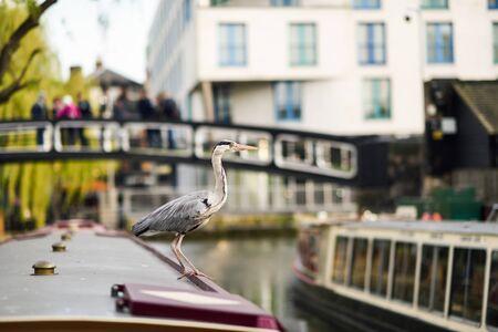 Heron or ardea cinerea in Little Venice, Camden town, London, UK Фото со стока