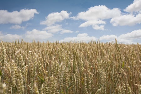 wheat field and blue sky Stock Photo - 9346751