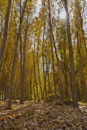 poplars field in autumn photo
