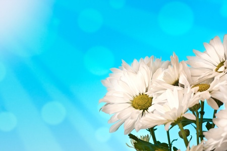 Daisies on a blue abstract background photo