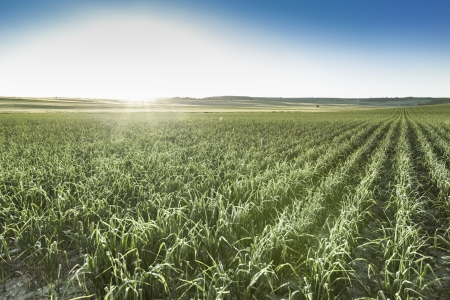 Field of garlic sprouts on a sunny day Foto de archivo