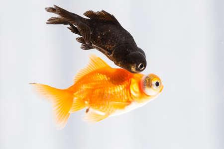 carassius auratus: goldfish Stock Photo