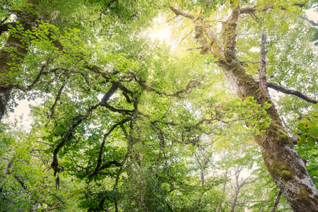 Rays of sunshine filtering through the treetops of a lush forest, in the Valley of O Courel in Lugo, Galicia, Spain