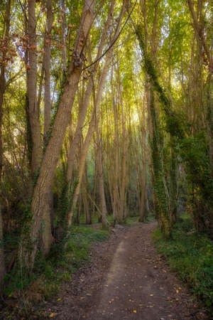 A path surrounded by tall poplars in early autumn in the Barranco del Rio Dulce natural park in Aragosa Guadalajara Spain, vertical