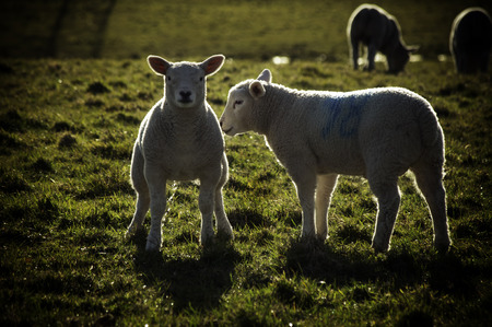pissing: Little Lambs