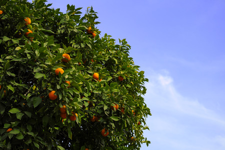 valencia orange: A typical Spanish orange tree in Valencia